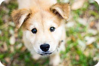 Australian Shepherd Golden Retriever Mix Puppy For Adoption In