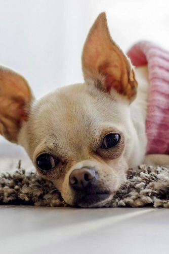 Pin By Evelyn Fimbrez On Chihuahua Dogs Cute Chihuahua