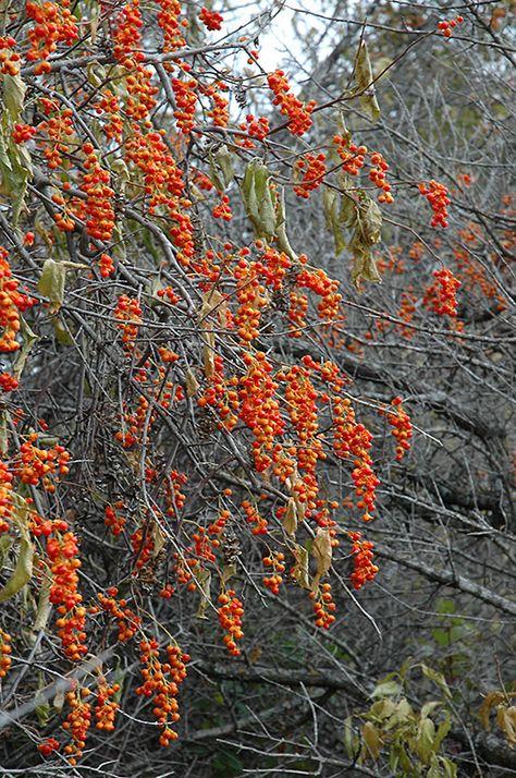 American Bittersweet Fast, Hardy, Showy Celastrus scandens Vine Seeds