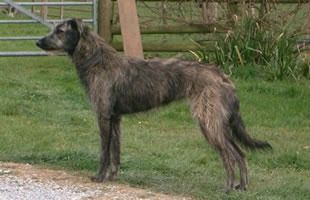 Lurcher Greyhound X Bearded Collie With Images Lurcher
