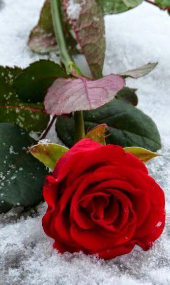 Pin De D R En Roses Con Imagenes Rosas Flores Bonitas