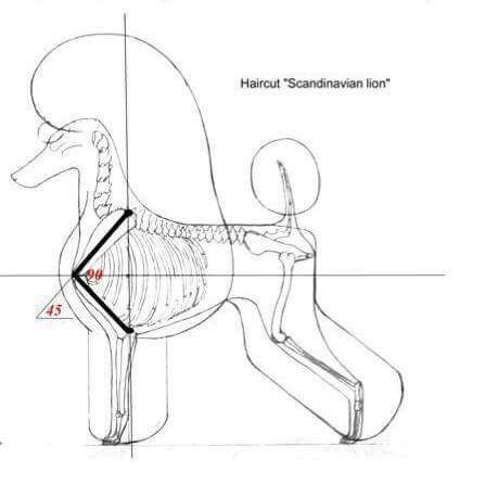 Canine Anatomy Angulation