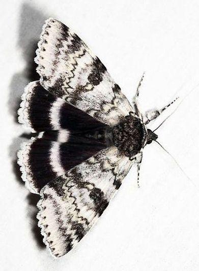 Papillon De Nuit Noir Et Blanc : papillon, blanc, Épinglé, Marie-Noëlle, Guérin, Papillons!, Papillon
