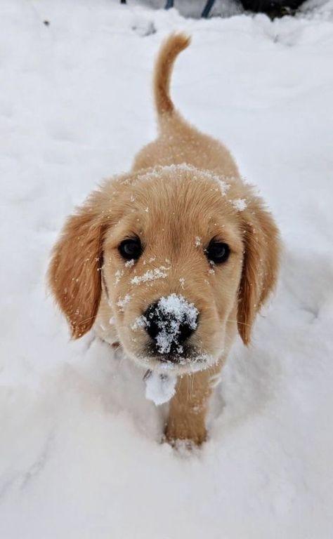 Piesio próbował jeść śnieg i zrobiło mu się przykro, że nie może go pogryźć, bo rozpuszczał mu się w pyszczku. Właśnie idzie do mamy/Eriki, żeby go pokiziała za uszkiem na pocieszenie. Dokonał boop noskiem w aparat.