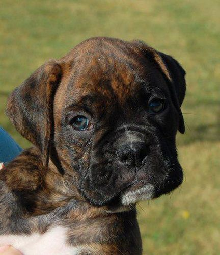 Bavaria S Boxers Tadd S Rhinestone Enterprise Rio In 2020 Boxer Dogs Funny Brindle Boxer Puppies Boxer Dogs