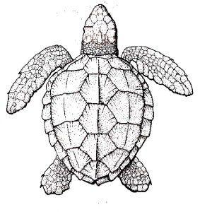 Sea Turtle Realistic Sea Turtle Coloring Page Realistic Sea