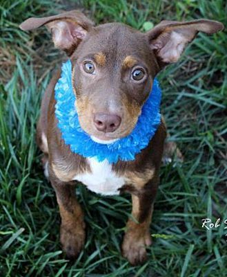 Fort Wayne In Doberman Pinscher Meet Norbert A Dog For Adoption