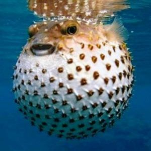 Scuba Legends Magazine Curious Facts About The Puffer Fish Cute Fish Ocean Animals Animals