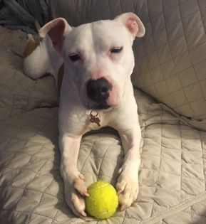 Bullypit Dog For Adoption In Potomac Md Adn 756215 On