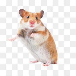Rat Mouse Png Rat Mouse Transparent Clipart Free Download Hamster Rat Mouse Rodent Pet Pet Rat Animals Mouse Rat Free Clip Art
