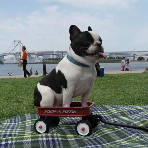 French Bulldog in a Little Red Wagon❤️❤️