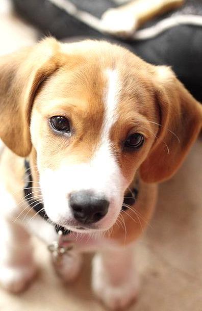 Baby Beagle, Beagle Mix Puppies, Cute Puppies, Corgi Mix, German Shepherd Beagle Mix, German Shepherds, Australian Shepherd, Pets, Puppies