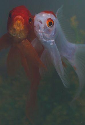 Urgent Urge Ohio City To Cancel Cruel Goldfish Swim Animal