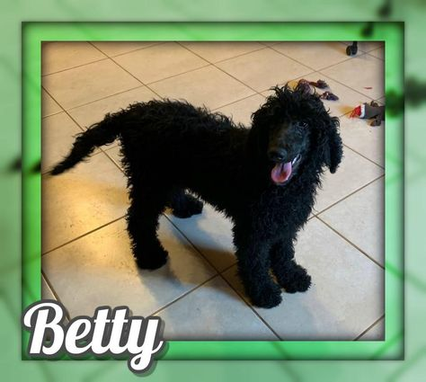 Betty Female Standard Poodle 400 Poodle Poodle Puppies For