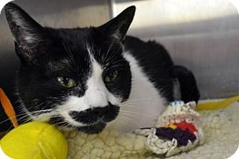 Meet Brittany, a distinguished cat with a robust mustache! Adoptable Domestic Shorthair. Meet Brittany the Cat for Adoption in Bellevue, WA Seattle Humane Society