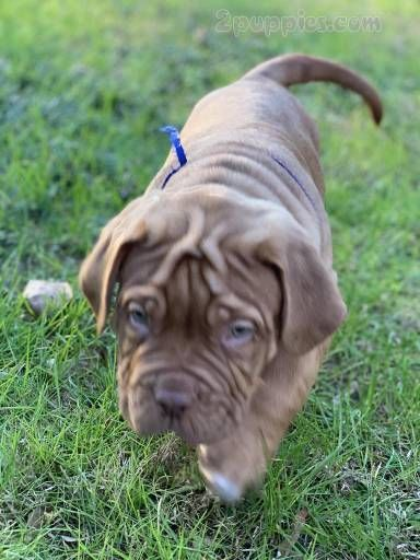Find Your Dream Puppy Of The Right Dog Breed At Puppies For Sale Puppies Bordeaux Dog