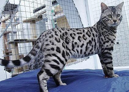 10 Wonderful Useful Tips Cat Girl Human Big Cat Anime Korean Cat Names Russian Blue Cat Sleeping Big Cat Prof With Images Bengal Cat Bengal Cat For Sale Silver Bengal Cat
