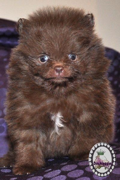 Brown Pomeranian Puppy Pomeranian Dog Pomeranian Puppy Pomeranian Puppy Teacup
