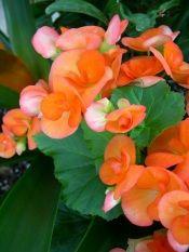 Begonia Care Tips Tuberous Begonia Hybrids Tuberous Begonia