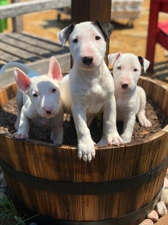 Bull Terrier Puppies For Sale Dallas Tx