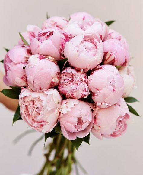 When they think of pink flowers, they think of peonies. Deliciously fragrant, they start as a small ball (think the size of a golf ball) and open up to become a big ball (think the size of softballs o Peonies And Hydrangeas, Peonies Garden, Peonies Bouquet, Pink Peonies, Yellow Roses, Pink Roses, Hot Pink Flowers, Pink Bouquet, Rare Flowers