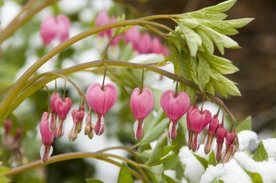 Winterizing A Bleeding Heart Plant How To Overwinter A Bleeding Heart Bleeding Heart Flower Bleeding Heart Plant Bleeding Heart