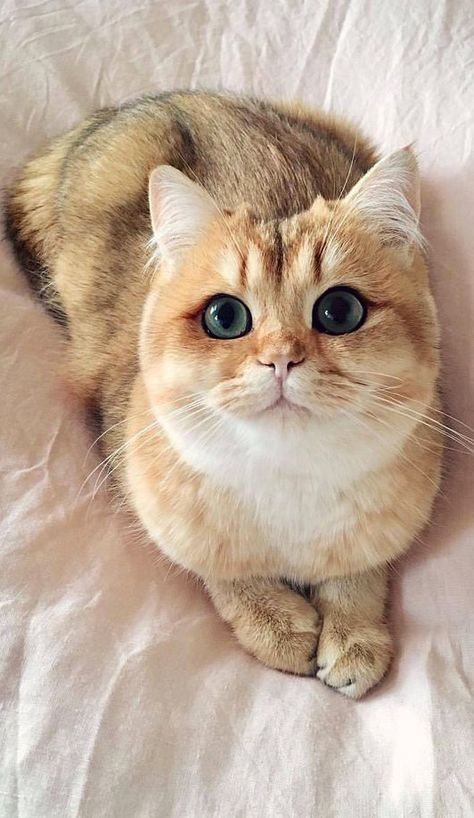 Best Cute Animals Images On Pinterest Adorable Animals - Venus cat two faces making twice adorable