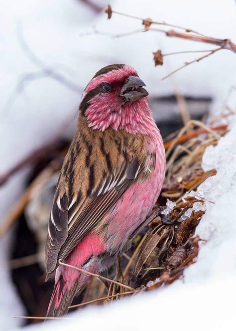 The beautiful Rose 🌹 Finch. I didn't realize how many different colors finches can be. Kinds Of Birds, All Birds, Little Birds, Love Birds, Angry Birds, Beautiful Creatures, Animals Beautiful, Cute Animals, Exotic Birds
