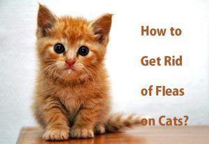 How To Get Rid Of Fleas On Cats Cat Fleas Cat Fleas Treatment Fleas