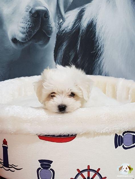 Tea Cup Maltese Terrier Yavrulari Tea Cup Maltese Terrier Yavrulari Kopek Kopekseverler Kopeksahiplendirme Kopekyavrusu Ev Kopek Evcil Hayvanlar Ayi