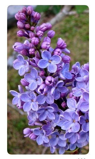 Pin By Ariane On Lavender Lilac Periwinkle Beautiful Flowers Lilac Flowers Purple Flowers