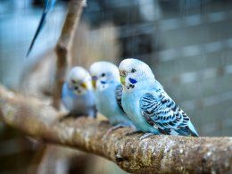 Baby Talking Handreared Tame African Grey Parrot Nottingham