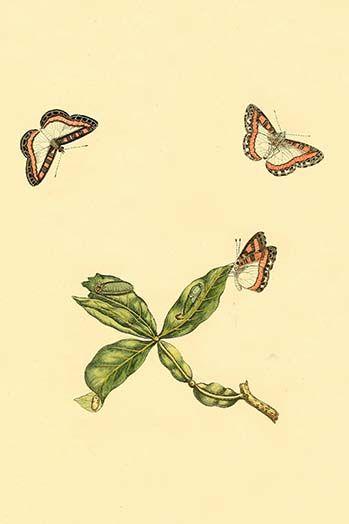 Surinam Butterflies Moths Caterpillars By Jan Sepp 5 Art Print Moth Caterpillar Graphic Art Art