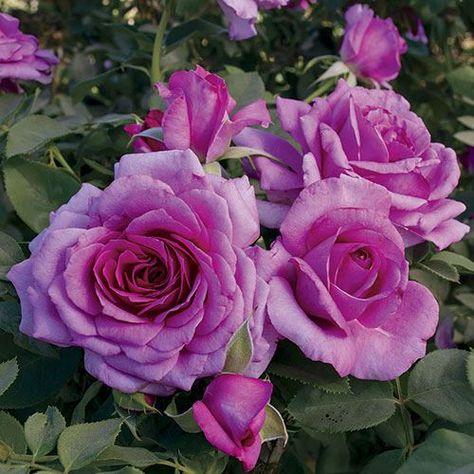 Simply Magnifiscent Grandiflora Rose   Jackson  Perkins