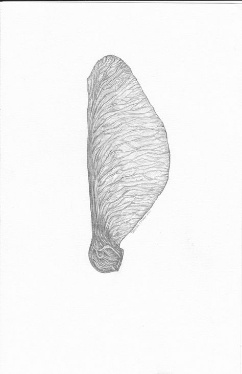 Natural History Maple Seed Pod - Limited Edition Botanical Print from Original Pencil Drawing.