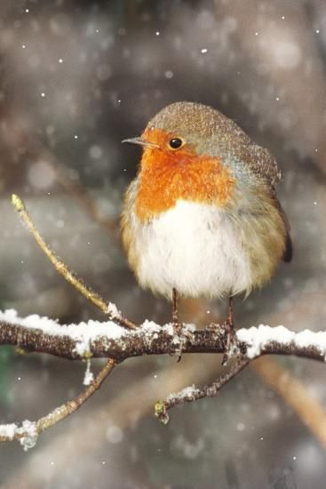 Robin On Snow Covered Branch With Falling Snow Photographic Print Bird Pictures Little Birds Christmas Bird