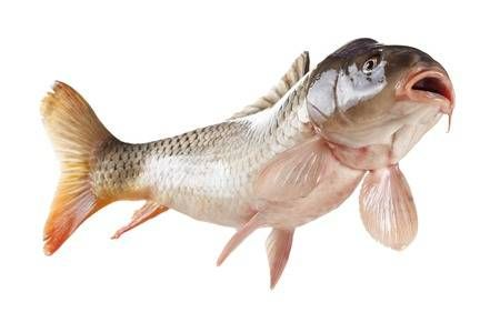 Swimming Common Carp Fish With Open Mouth Bottom View Isolated Common Carp Carp Fish