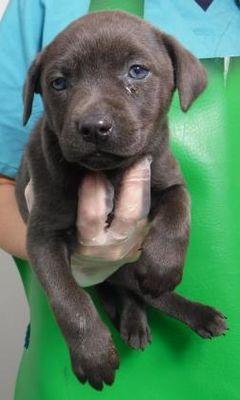 Morton Grove Il Labrador Retriever Meet Edith A Pet For