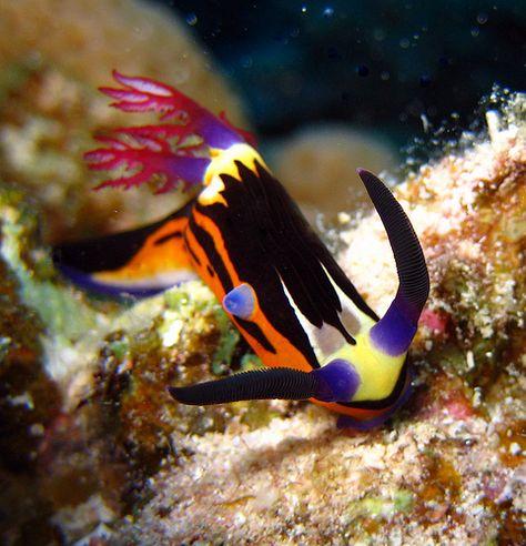 beautiful tropical nudibranch...