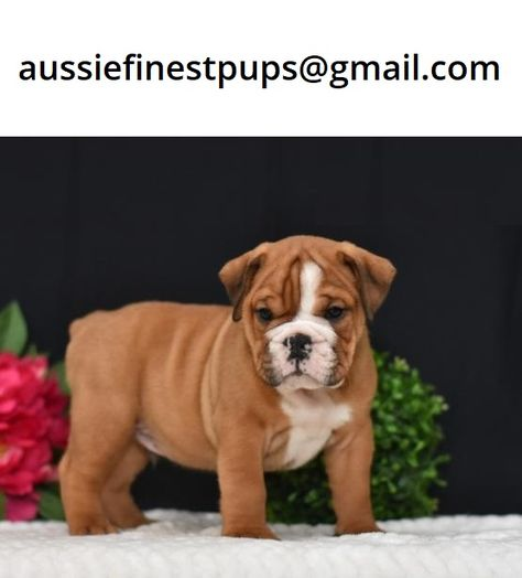 British Bulldog Puppies For Sale In Sydney In 2020 Bulldog