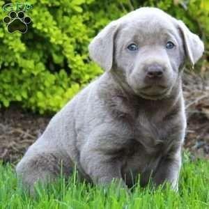 Silver Labrador Retriever Puppy In Quarryville Pa Labradorretriever Labrador Retriever Puppies Labrador Retriever Funny Labrador Retriever