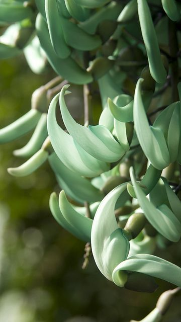 The jade vine is threatened in the wild but botanic gardens have had great success in cultivating it. See Kew's in the Palm House.