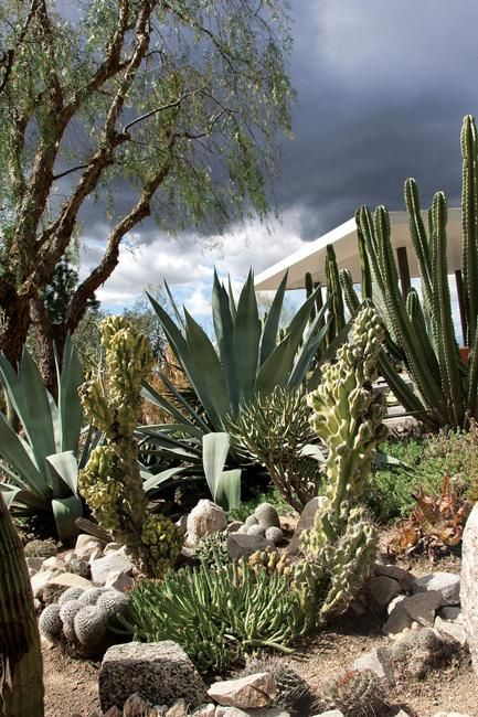 Among The Garden S Many Succulents And Cacti Are Cereus Peruvianus