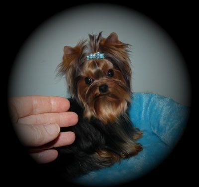 Yorkshire Terrier Puppies For Sale Breeder Bc Canada