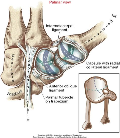 Radial Collateral Ligament Wrist 87446 | MOVIEWEB