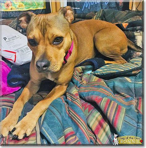 Name Bonnie Age Three Years Old Gender Femalebreed Pitbull Terrier
