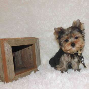 Yorkie Puppies Sale Teacup Yorkies Parti Chocolate Golden Yorkshire Terriers In 2020 Teacup Yorkie Puppy Yorkie Puppy For Sale Cute Small Dogs