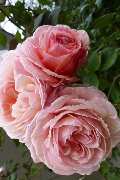 The Prettiest Pink With English Garden Flare Shop All Pink Roses