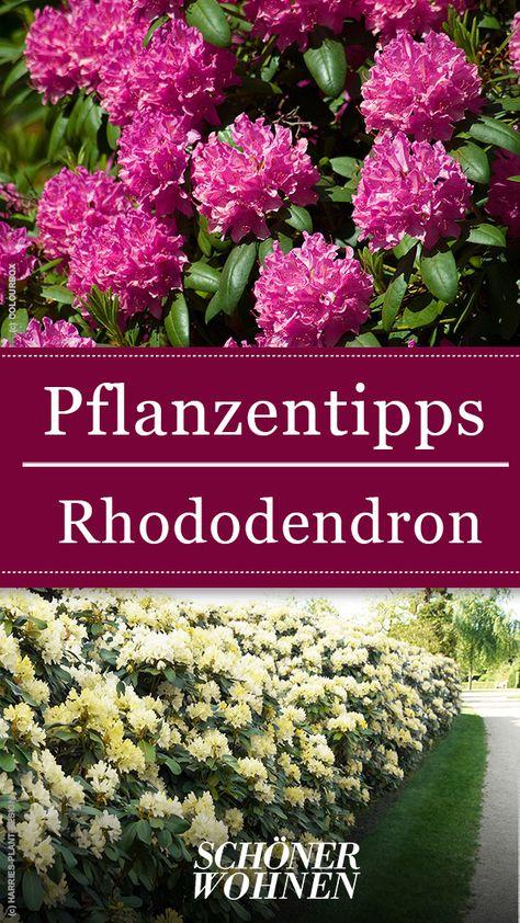 Rhododendron Pflanzen Pflegen Vermehren Shrubs For