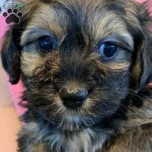 Havanese Puppies For Sale Havanese Breed Profile Greenfield Puppies In 2020 Havanese Puppies Havanese Puppies For Sale Havanese